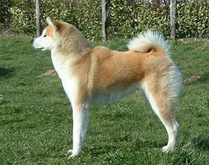 Best Dog Food For Japanese Akita